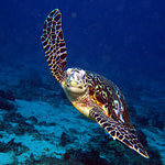 Turtle in Flight
